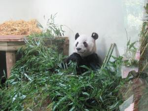 This panda isn't being brave. He's just smiling as he chomps his weight in bamboo whilst his girlfriend paces angrily outside